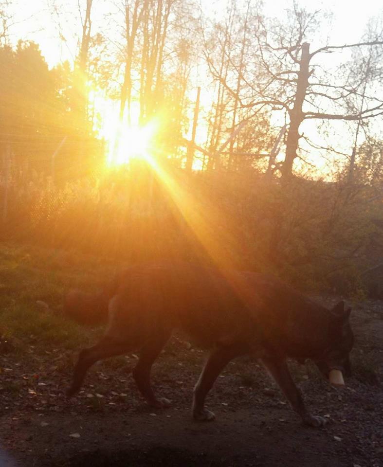 Nicko ska gömma sitt ben i solnedgången